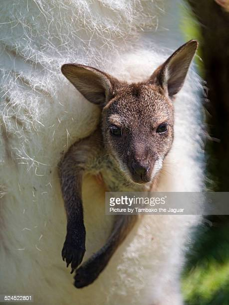 Young wallaby in mother's pouch