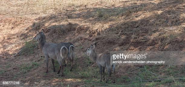 Young waterbucks (Kobus ellipsiprymnus).