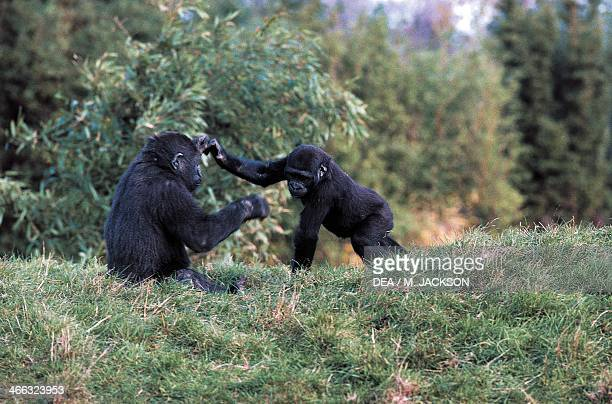 Young western lowland gorillas Great apes Jersey Island protected area United Kingdom