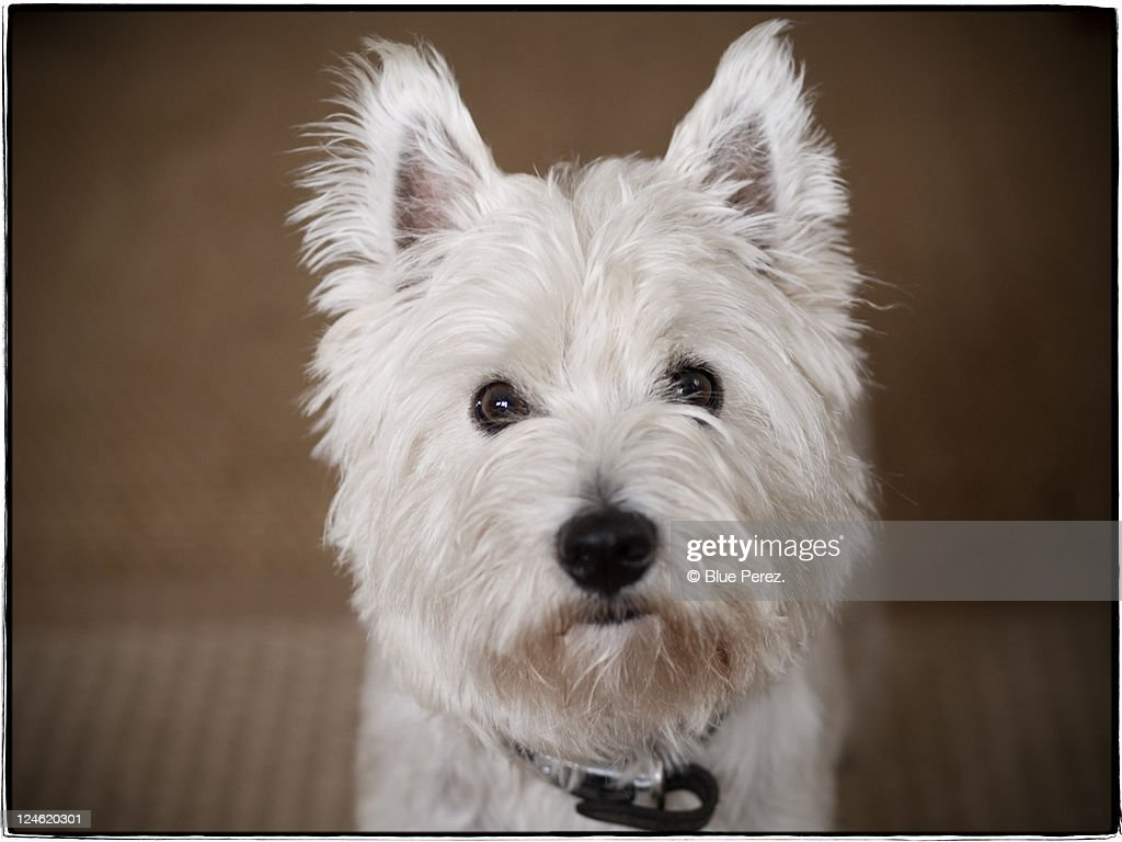 Young Westmoreland terrier dog : Stock Photo