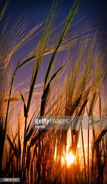 Junge Weizen im Sonnenuntergang