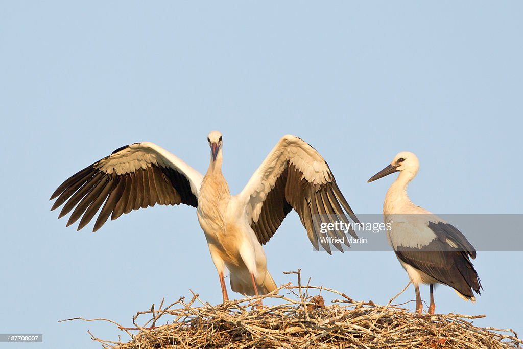 Young white storks -Ciconia ciconia-, flying attempts at the nest, Hesse, Germany : Stock Photo