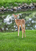 Young white-tailed fawn deer, standing near a pond, looking back toward the camera.