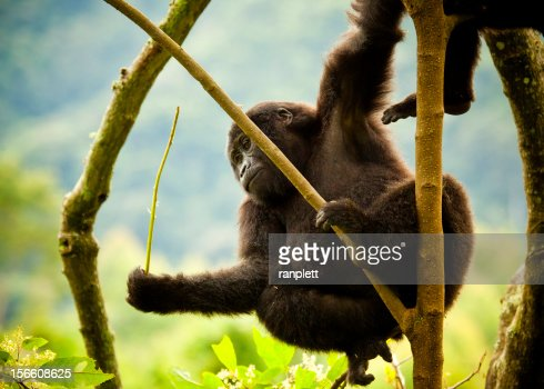 Young Wild Gorilla Hanging From a Tree