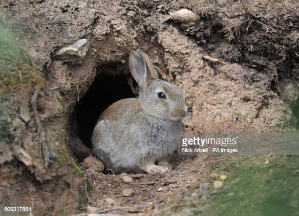 A young wild rabbit emerges from a burrow at South Weald Country Park Essex