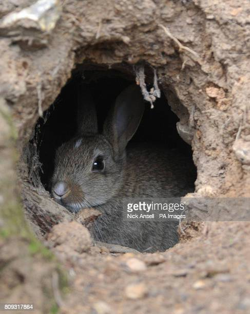 A young wild rabbit sits in a burrow at South Weald Country Park Essex