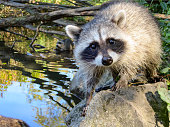 Young wild raccoon on stone by water