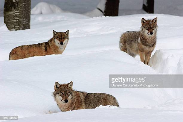 Young wolves in the snow