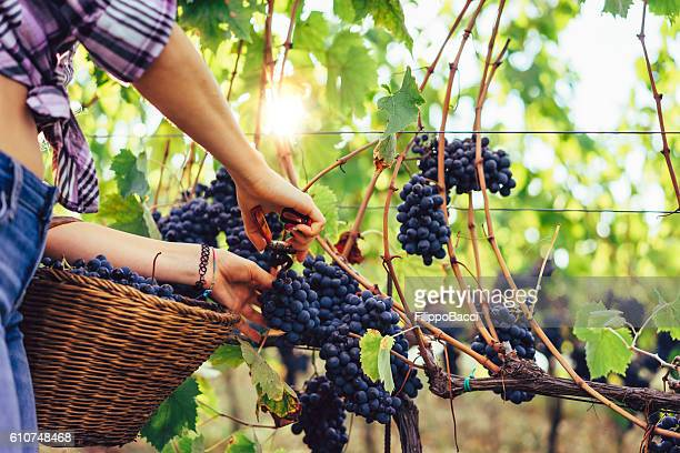 Young Woman hands cutting a grape bunch with scissors
