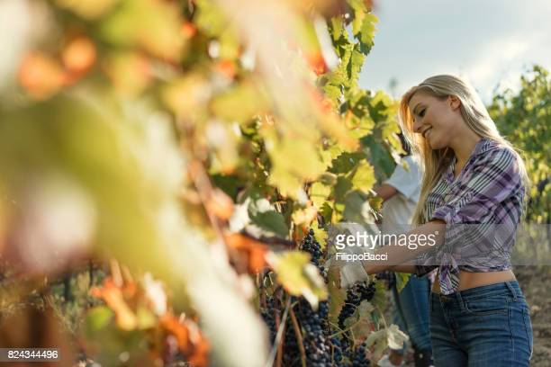 Young woman harvesting red grapes