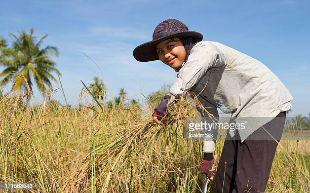 Young woman harvesting the rice paddy