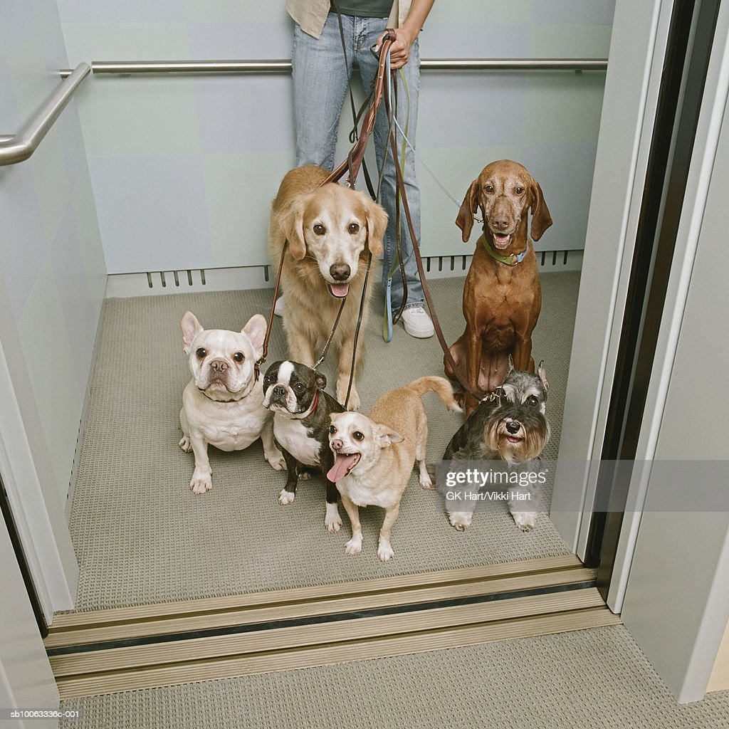 Young woman holding six dogs in elevator, elevated view : Stock Photo