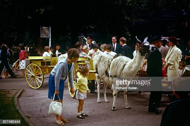 A young woman holds the hand of her 5 yearold brother during a visit to London zoo in the early 1960s Looking closely at a tame llama that has been...