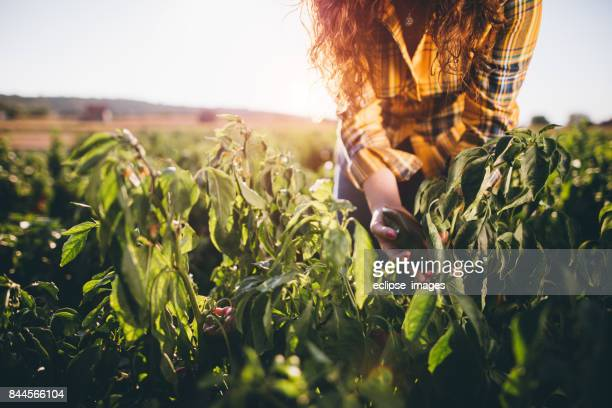 Young woman in harvesting of paprika