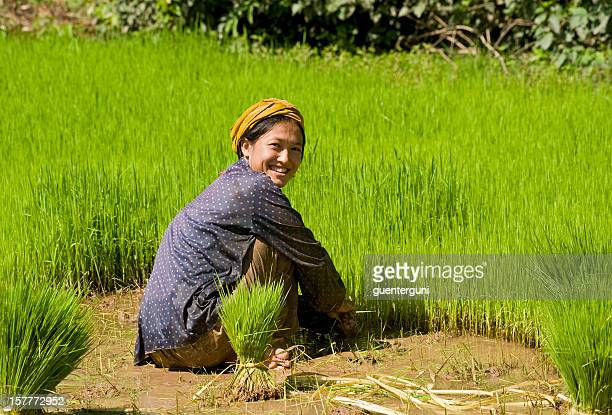 Young woman is planting fresh rice, Southern Laos