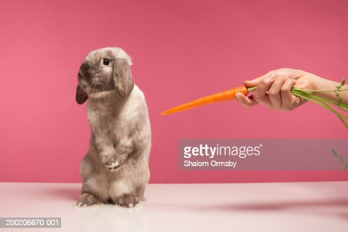 Young woman offering carrot to rabbit : Stock Photo