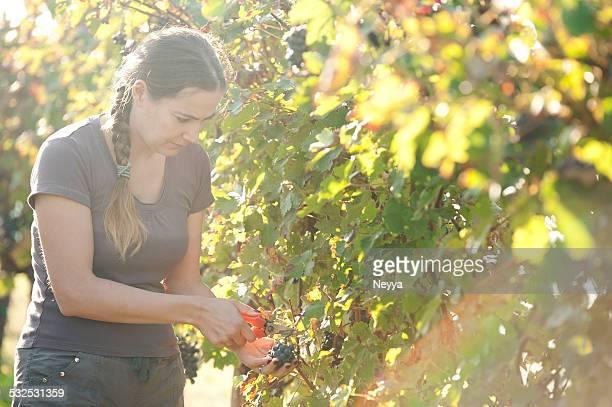 Jeune femme cueillir du raisin rouge