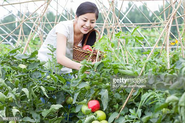 Young woman picking tomatoes in greenhouse