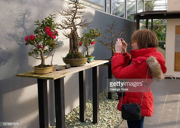 A young woman takes pictures of bonsai plants at the Brooklyn Botanical Gardens on December 12 2010 in the Brooklyn borough of New York City Brooklyn...