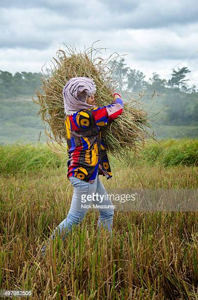CONTENT] Young woman working hard on her farmland collecting the wheat All this is done by hand Location is Lake Toba North Sumatra Indonesia