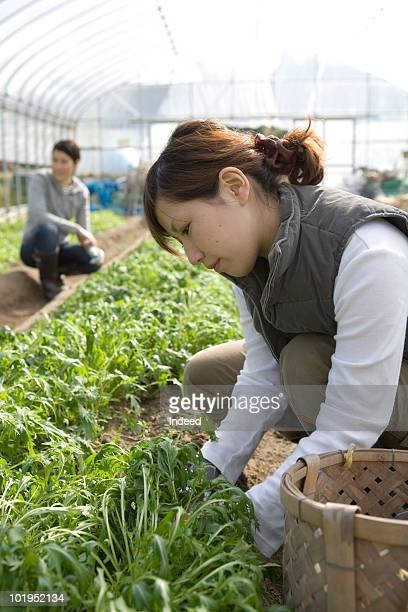 Young woman working  plastic greenhouse