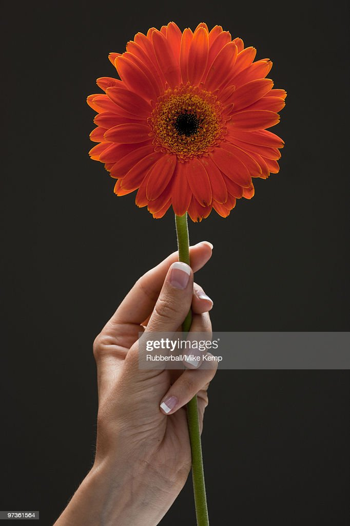 Young woman's hand holding flower : Stock Photo