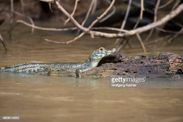 A young Yacare caiman resting on a log in a tributary of the Cuiaba River near Porto Jofre in the northern Pantanal Mato Grosso province in Brazil