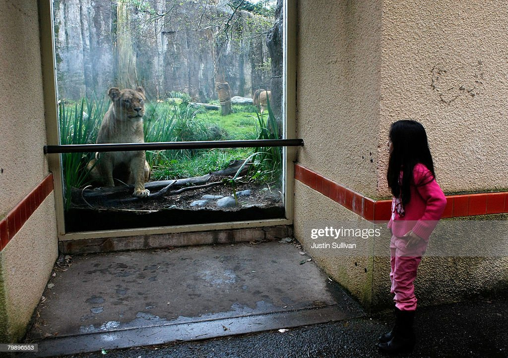 A young zoo patron peeks around a corner to look through a window at an African lion in a renovated big cat grotto at the San Francisco Zoo February 21, 2008 in San Francisco, California. The San Francisco Zoo reopened its big cat grottos for public viewing almost two months after a man was fatally mauled by a Siberian tiger that escaped from its enclosure on Christmas day. Renovations to the enclosures included an extension of the concrete moat to 16 feet, 4 inches from the bottom, installation of glazing and fencing barrier, and installation of a hot wire electric fence.
