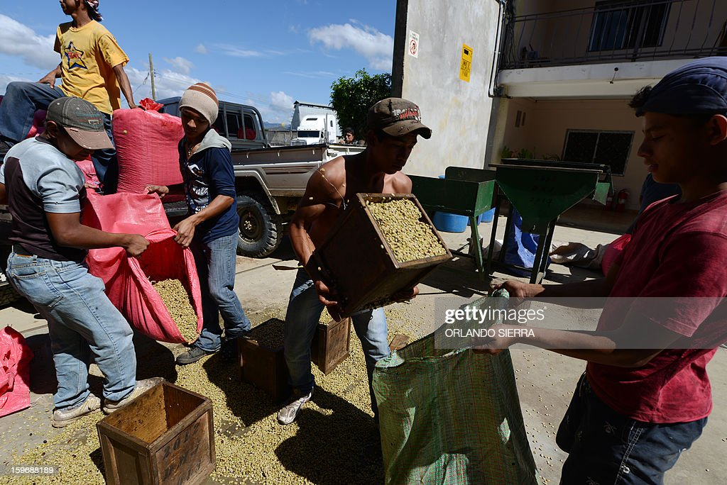 Youngsters unload coffee beans in the department El Paraiso, 110 kms east of Tegucigalpa, on Januray 17, 2013. Central America, one of main producers of the best Arabica Coffee, is analyzing to take measures to combat the Roya (Puccinia graminis) blight already threatening more than one third of the grain crop, one of the region's major export items. AFP PHOTO/Orlando SIERRA