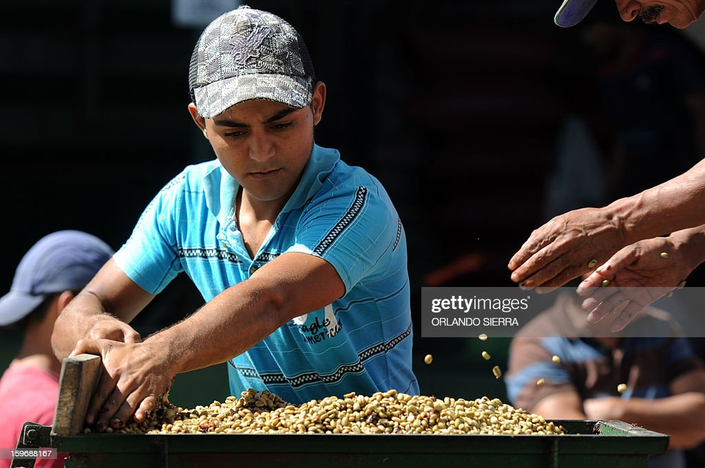 Youngsters weigh coffee beans during harvest in the department El Paraiso, 110 kms east of Tegucigalpa, on Januray 17, 2013. Central America, one of main producers of the best Arabica Coffee, is analyzing to take measures to combat the Roya (Puccinia graminis) blight already threatening more than one third of the bean crop, one of the region's major export items. AFP PHOTO/Orlando SIERRA