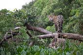 Jaguar photographed in Brazilian Pantanal.