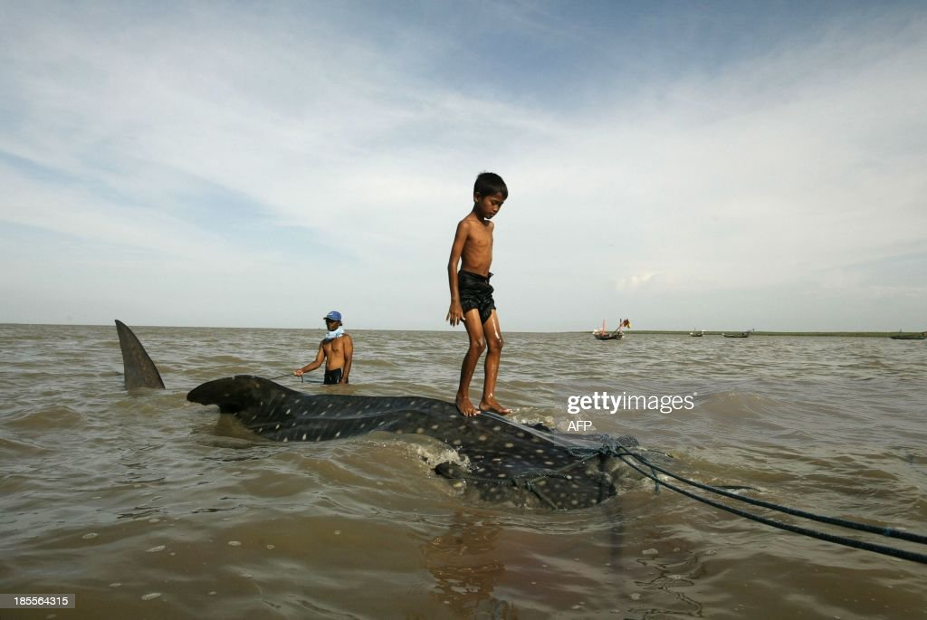 A youth stands on a a whale shark towed by fishermen along the coast of Surabaya in eastern Java island on October 22, 2013, to be sold to prospective buyers after getting entangled in a fishing net. Listed as vulnerable by the International Union for Conservation of Nature (IUCN) and banned for fishing by some countries, the species continues to be hunted in some parts of Asia.