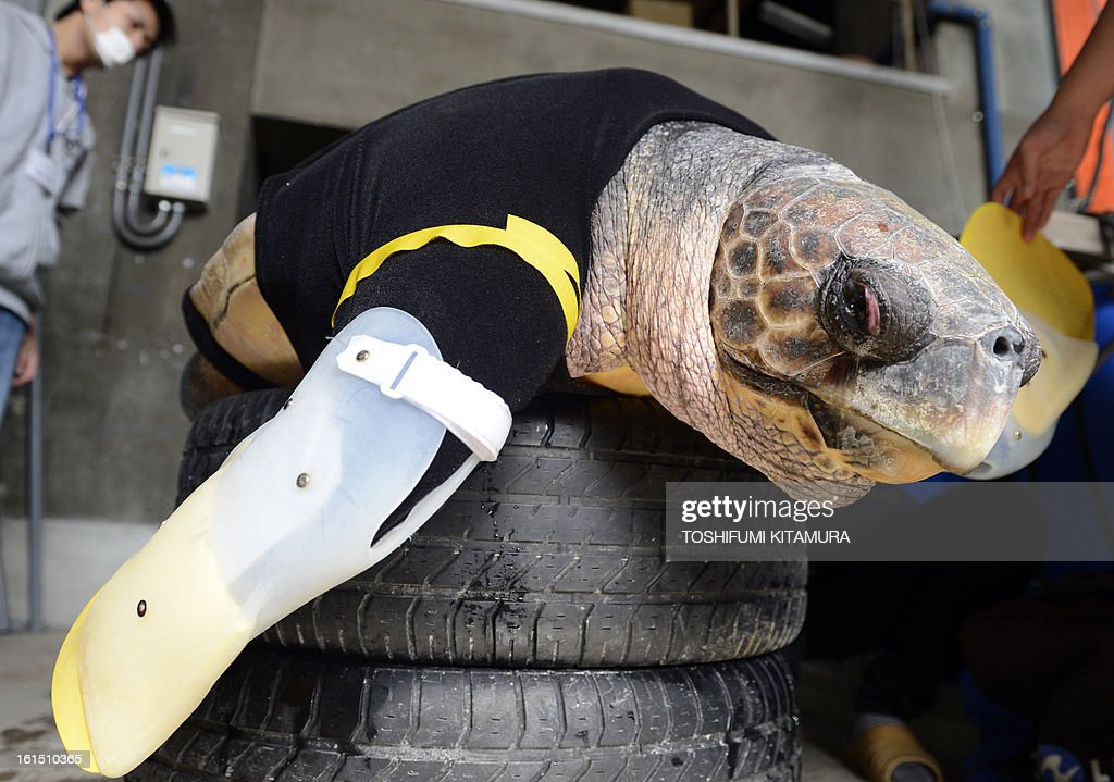 Yu, an approximately 25-year-old female loggerhead turtle, receives her 27th pair of artificial front legs at the Suma Aqualife Park in Kobe on February 12, 2013. Yu lost her front legs during a shark attack.