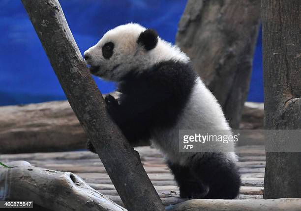 Yuan Zai the first Taiwanborn baby panda climbs inside its enclosure at the Taipei City Zoo on January 6 2014 Yuan Zai who weighed 180 grams at birth...