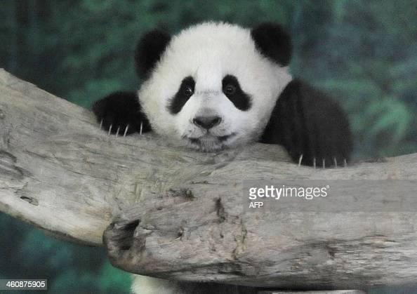 Yuan Zai the first Taiwanborn baby panda climbs inside its enclosure at the Taipei City Zoo on January 6 2014 Yuan Zai who weighed 180 grams at birth...