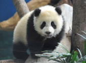 Yuan Zai the first Taiwanborn baby panda plays inside its enclosure at the Taipei City Zoo on January 6 2014 Yuan Zai who weighed 180 grams at birth...