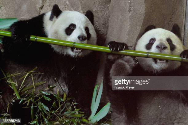 Yuan Zi a male giant panda and Huan Huan a female giant panda share their life inside their enclosure at Zoo Parc De Beauval on January 25 2012 in...