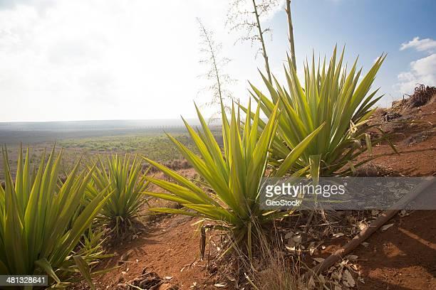 Yucca plants, Hawaii