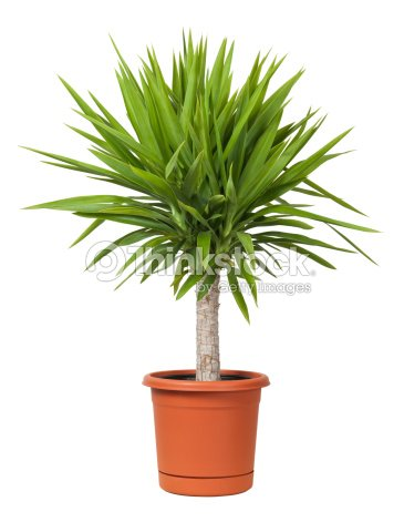 yucca plante en pot isol photo thinkstock. Black Bedroom Furniture Sets. Home Design Ideas