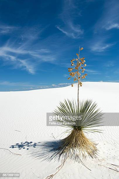 Yucca tree at White Sands National Monument