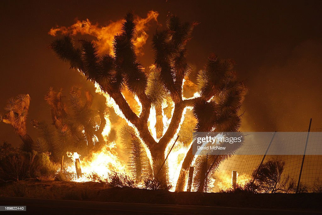 Yuccas catch fire as the Powerhouse fire makes a fast run toward Lake Hughes on June 1 2013 south of Lake Hughes California The 19500acre wildfire...