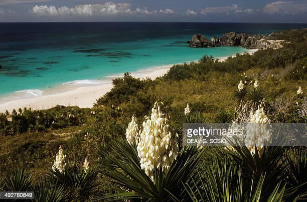 Yuccas in bloom Horseshoe Bay Grand Bermida Bermuda Overseas Territory of the United Kingdom