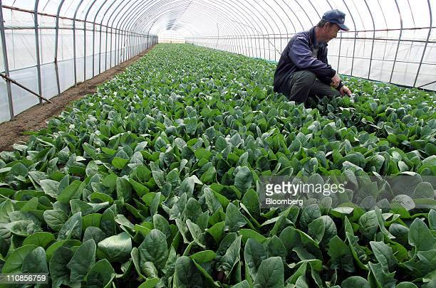 Yuichi Yonekura a vegetable farmer sits beside spinach in his greenhouse in Hokota city Ibaraki prefecture Japan on Friday March 25 2011 Farmers said...