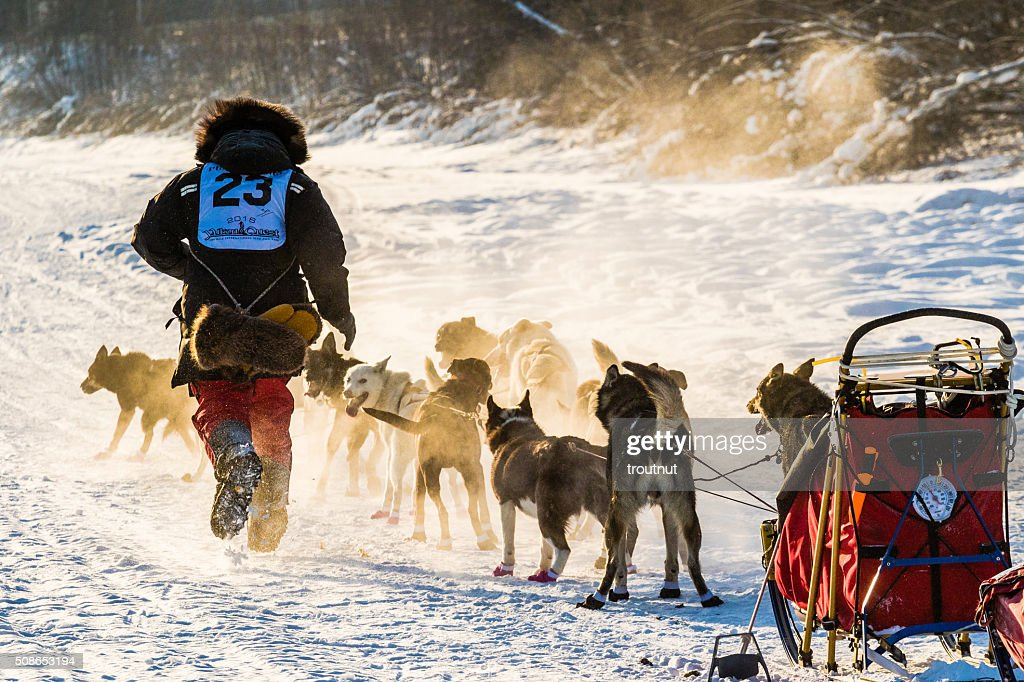 2016 Yukon Quest sled dogs : Stock Photo