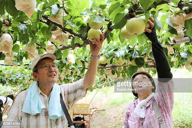 Yurihama Japan A pear grower and his wife reach for the 20th Century variety of pears in Yurihama Tottori Prefecture on Aug 23 2013 The pear...