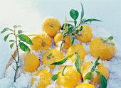 Yuzu fruit in a basket of snow