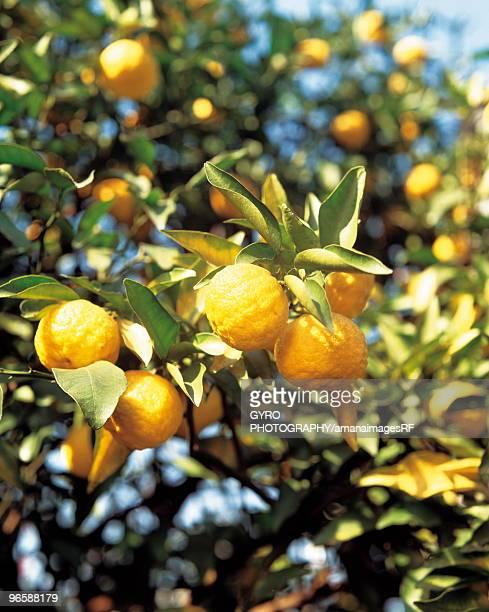 Yuzu oranges growing on a tree