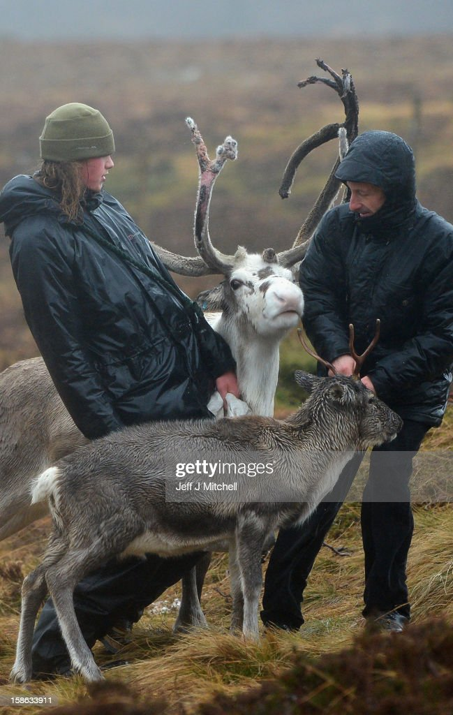 Zac Brown a reindeer herder at the Cairgorm Herd, helps members of the public feed the deer on December 22, 2012 in Aviemore, Scotland. Reindeer were introduced to Scotland in 1952 by Swedish Sami reindeer herder, Mikel Utsi. Starting with just a few reindeer; the herd has now grown in numbers over the years and is currently at about 130 by controlling the breeding. The herd rages on 2,500 hectares of hill ground between 450 and 1,309 meters and stay above the tree line all year round regardless of the weather conditions.