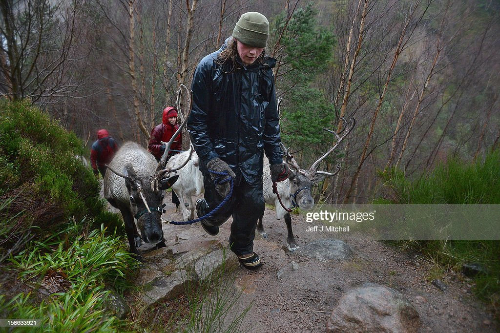 Zac Brown, Melanie Gaff and Abi Evans walk with Reindeer from the Cairgorm Herd on December 22, 2012 in Aviemore, Scotland. Reindeer were introduced to Scotland in 1952 by Swedish Sami reindeer herder, Mikel Utsi.Starting with just a few reindeer, the herd has now grown in numbers over the years and is currently at about 130 by controlling the breeding. The herd rages on 2,500 hectares of hill ground between 450 and 1,309 meters and stay above the tree line all year round regardless of the weather conditions.