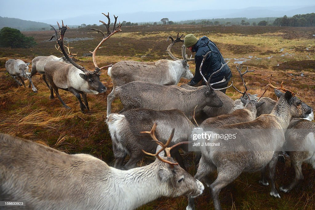 Zac Brown Reindeer herder at the Cairgorm Herd feed the deer on December 22, 2012 in Aviemore, Scotland. Reindeer were introduced to Scotland in 1952 by Swedish Sami reindeer herder, Mikel Utsi.Starting with just a few reindeer, the herd has now grown in numbers over the years and is currently at about 130 by controlling the breeding. The herd rages on 2,500 hectares of hill ground between 450 and 1,309 meters and stay above the tree line all year round regardless of the weather conditions.